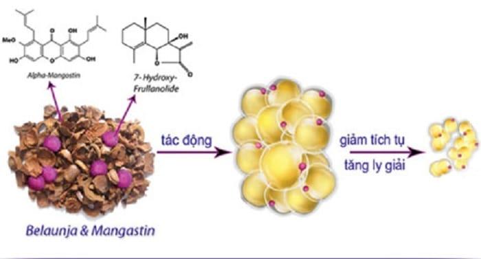 Hoạt chất sinh học thiên nhiên Belaunja và Mangastin giúp giảm tích tụ mỡ thừa và tăng ly giải mỡ trắng.